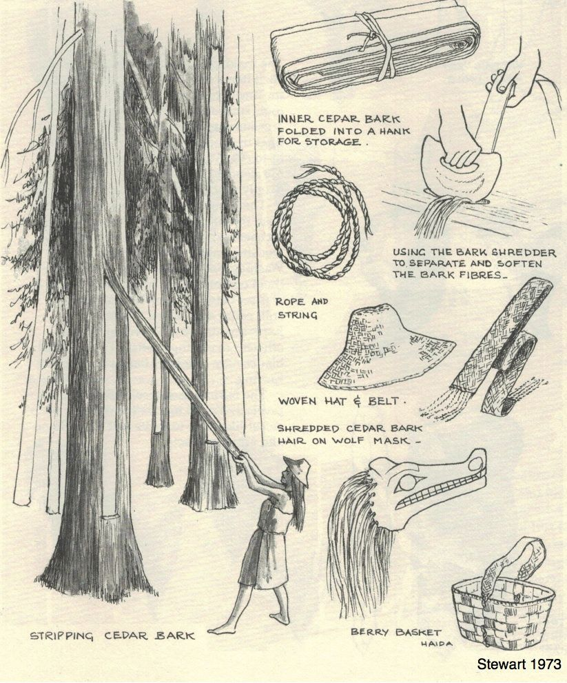 how pacific northwest coast people stripped bark from cedar to make clothing  hats  baskets