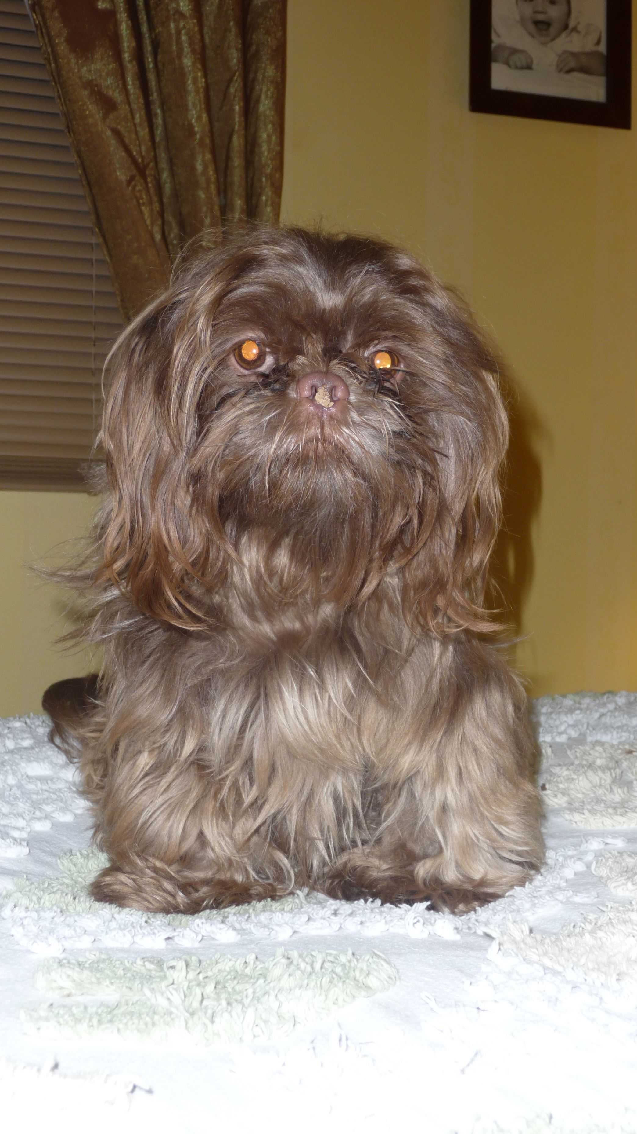 Baby Lucy Love Her Pretty Brown Hair And Pink Nose My Shih Tzu
