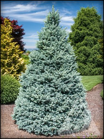 Just Can T Get Enough Of Picea Pungens Sester Dwarf