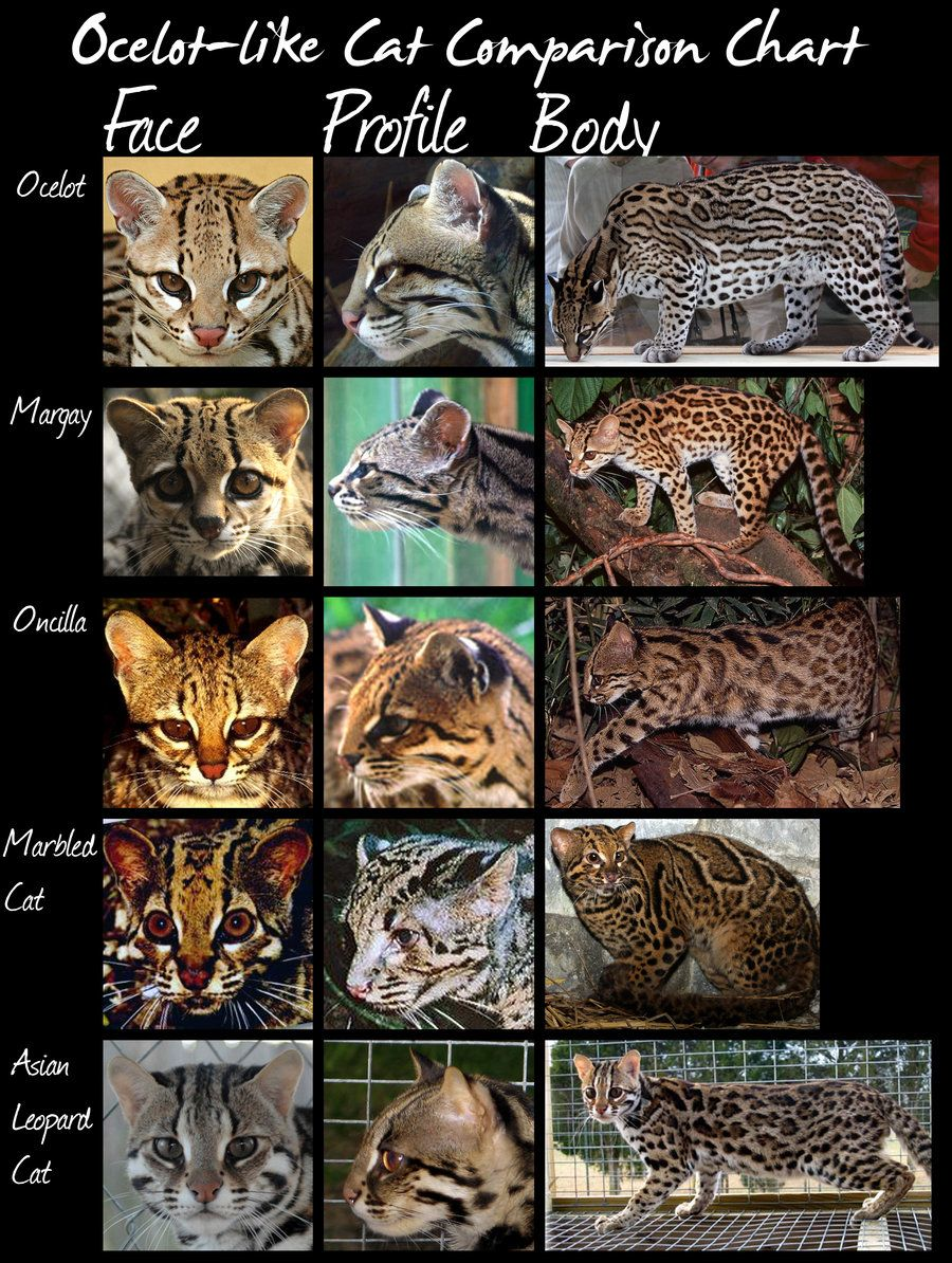 wild cats species comparison chart (Ocelotlike cats) by