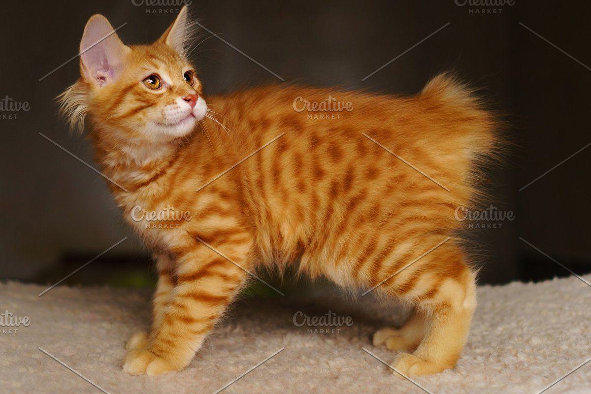 Cute Red Kitten In 2020 American Bobtail Cat Bobtail Cat Cat Has Fleas