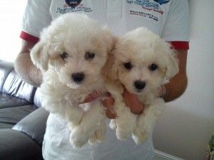 Bichon Frise Puppies For Sale In Glasgow Bichon Frise Puppy Cute Baby Animals Puppies
