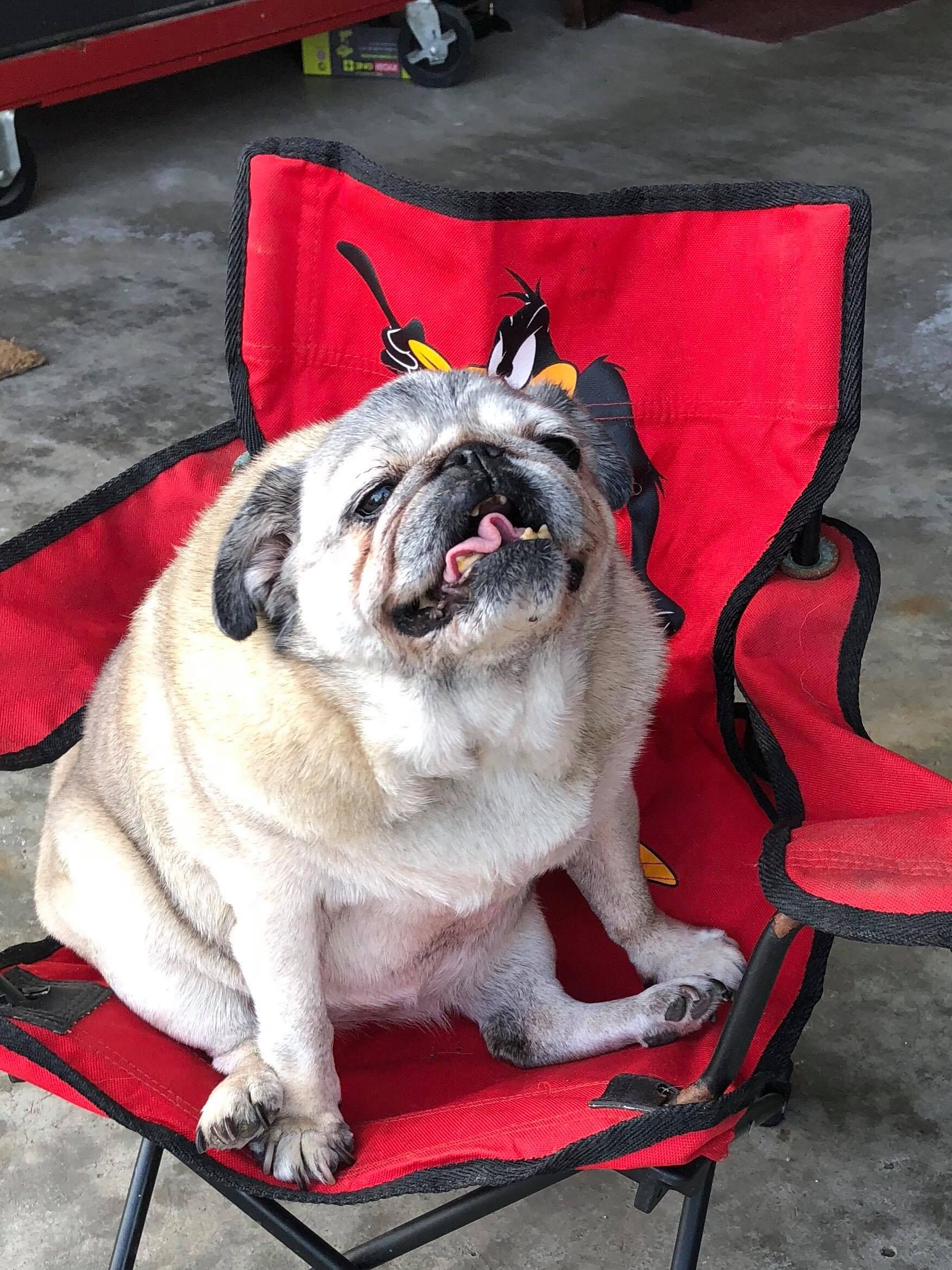 I Think This One Is The Oldest Pug In Our Group Her Name Is