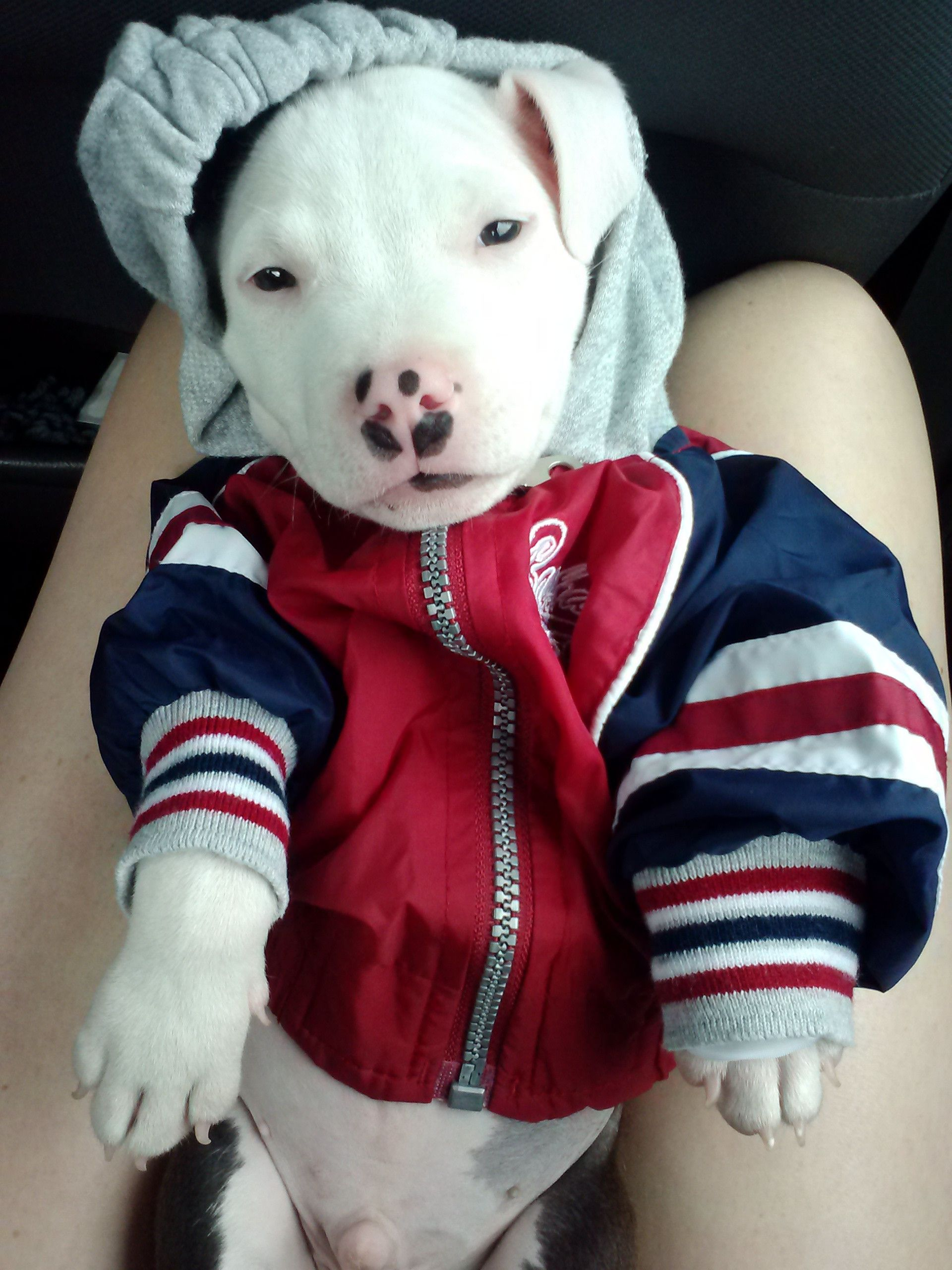 Adorable Pitbull Puppy In A Hoodie Be Still My Heart Cute