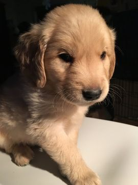 Litter Of 9 Golden Retriever Puppies For Sale In Seattle Wa Adn