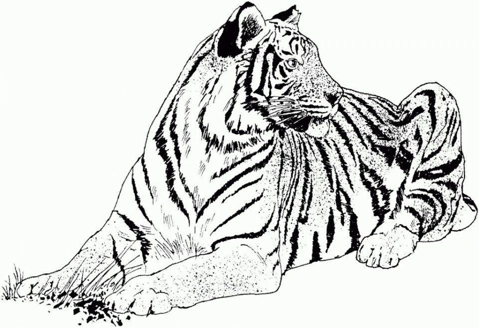 Dibujos De Tigres De Bengala Para Colorear Dibujo Tigre Tigre