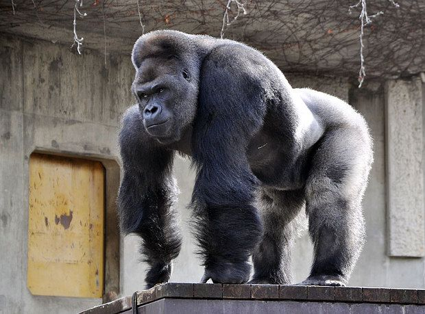 Giant male gorilla Shabani, weighing around 180kg, at the ...