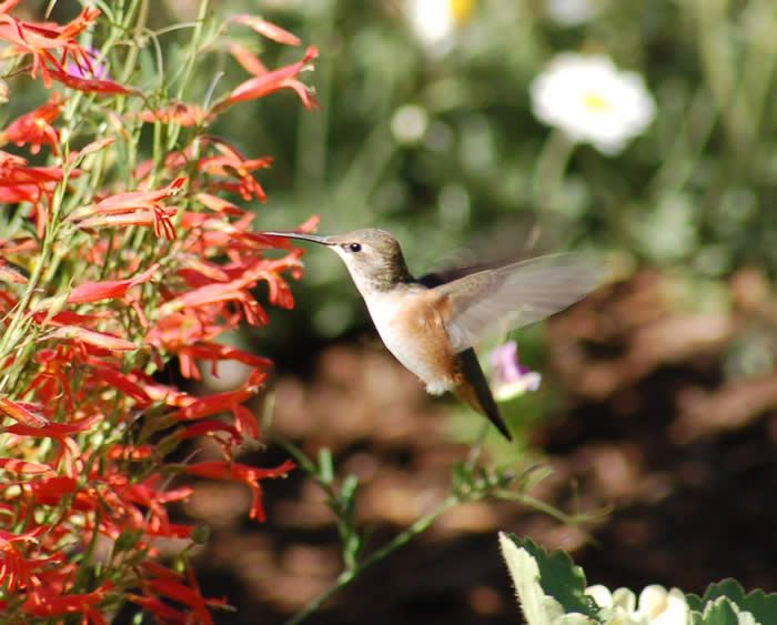 17 Best images about hummingbird Gardens on Pinterest Gardens