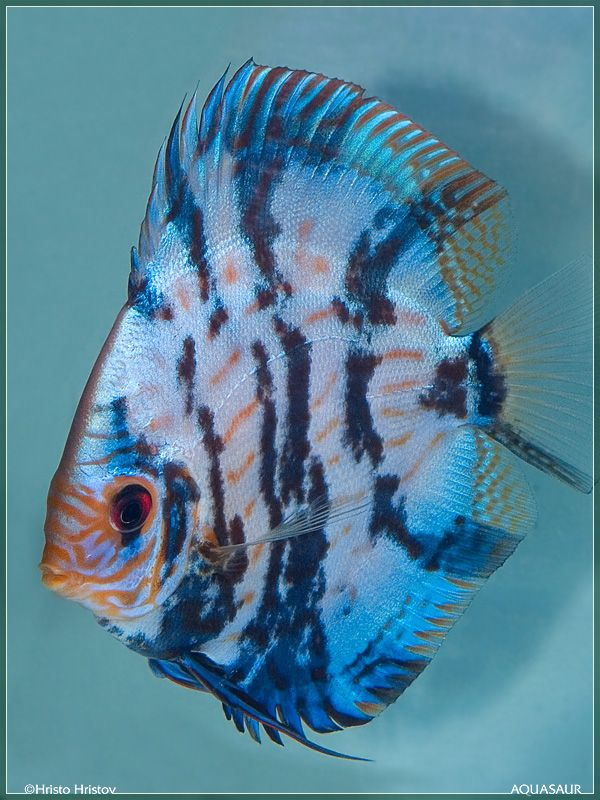 Discus 600 800 this discus variety is so for Weird freshwater fish
