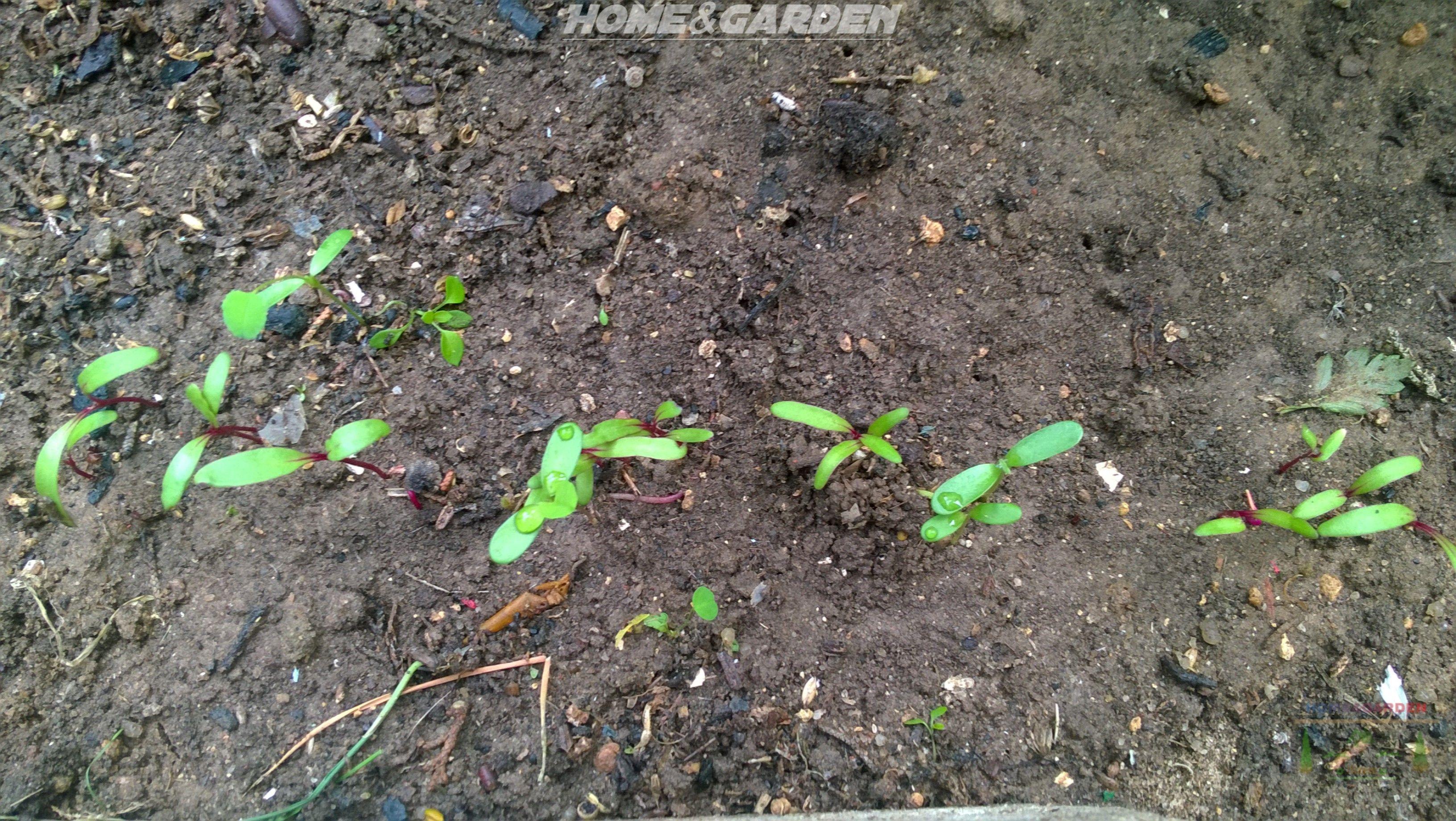 Home And Garden How To Grow Beetroot Growing Seeds Beet Plant Organic Vegetable Garden