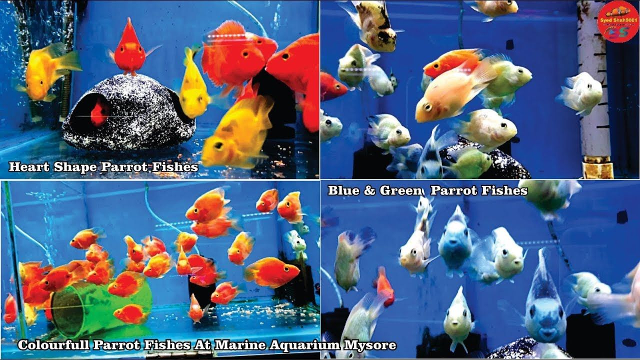 Parrot Fishes For Sale King Kong Yellow Parrot Green Blue Parrot Fis Parrot Fish Fish For Sale Aquarium Store