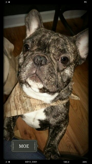French Bulldog Tiger Stripe Brindle Moe 16 Months French