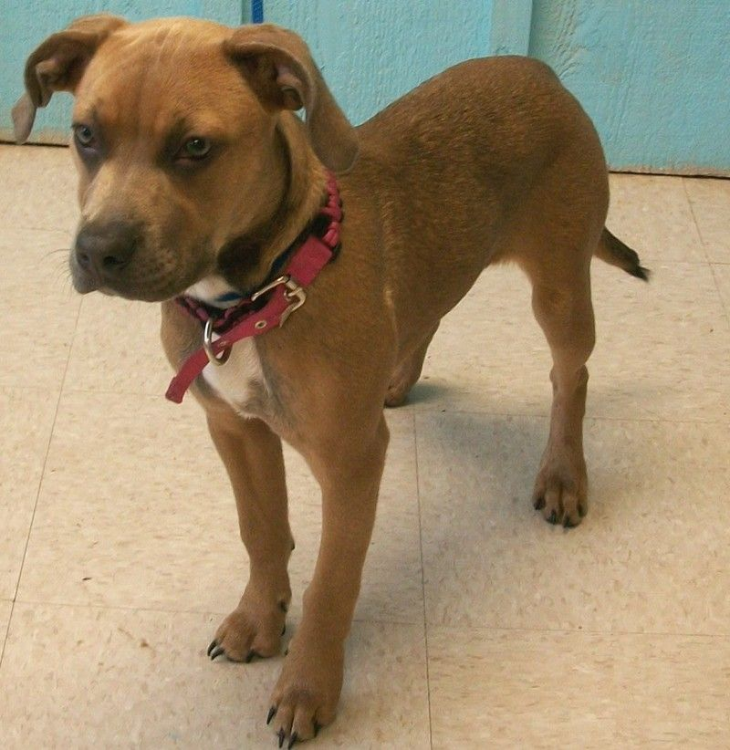 Adopt Autumn On Pitbull Boxer Pitbull Boxer Mix Terrier Mix