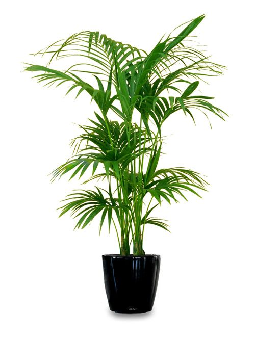 Tall House Plants Low Light 18 best large indoor plants for home | large indoor plants, indoor