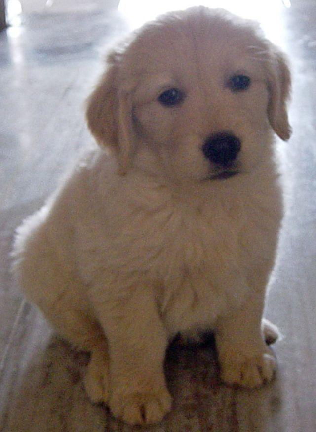 Cutest Golden Retriever Puppy Ever According To Www Pbh2 Com