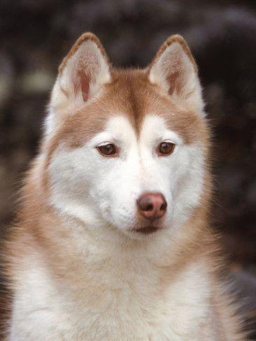 Siberian Husky Portrait Usa Photographic Print Lynn M Stone Allposters Com In 2020 Husky Dogs Sheep Dog Puppy Dog Breeds