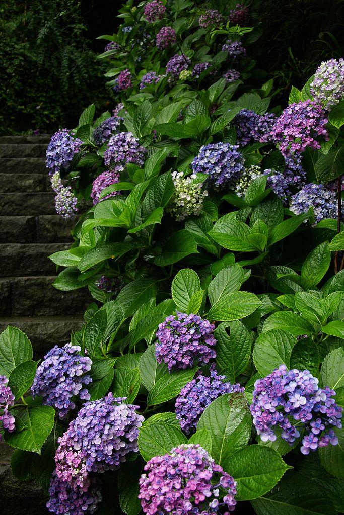 Pin By Cyndi Reid On Grow Me A Flower Beautiful Flowers Hydrangea Purple Beautiful Gardens