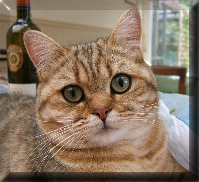 Pin by I Love Cats on BRITISH SHORTHAIR British