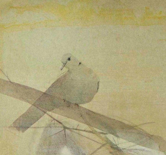 Collared Dove 1