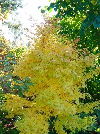 Acer Palmatum Sango Kaku Rare Species Garden Maintenance Plants