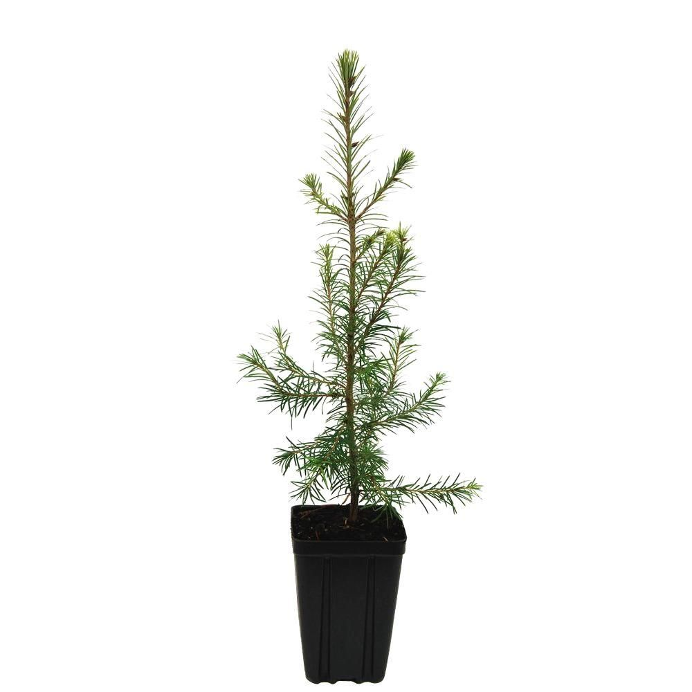 Rosemary Christmas Tree Home Depot.Evergreen Nursery Douglasfir Potted Evergreen Tree Pine Trees