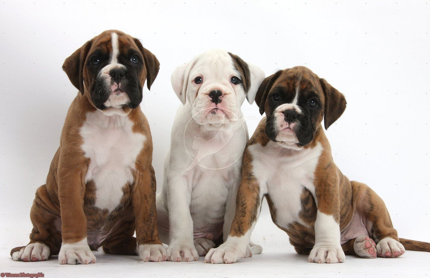 boxer puppy wallpaper desktop hd all puppies pictures