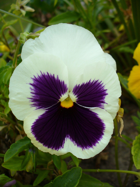 Colourful Viola Flower Jpg 2112 2816 Viola Flower Beautiful Flowers Passion Flower