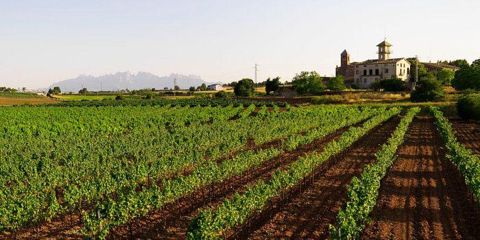 Some Barcelona regions are a paradise for wine enthusiasts. Come discover them! - Els amants del turisme del vi afirmen que les comarques de Barcelona són un autèntic paradís. I ho diuen perquè, en els darrers anys, s'han ideat moltes activitats que permeten descobrir els paisatges de les diferents denominacions d'origen i, al mateix temps, tastar els vins que s'hi elaboren. #dopenedes #doalella #dopladebages #costaBCN #BCNmoltmes #wine #cava #vineyard
