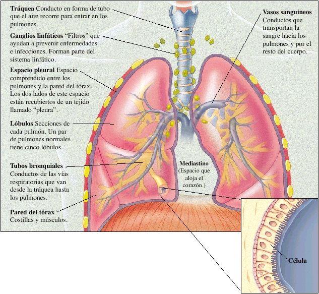 Resultado de imagen para anatomia del pulmón | informacion medica ...