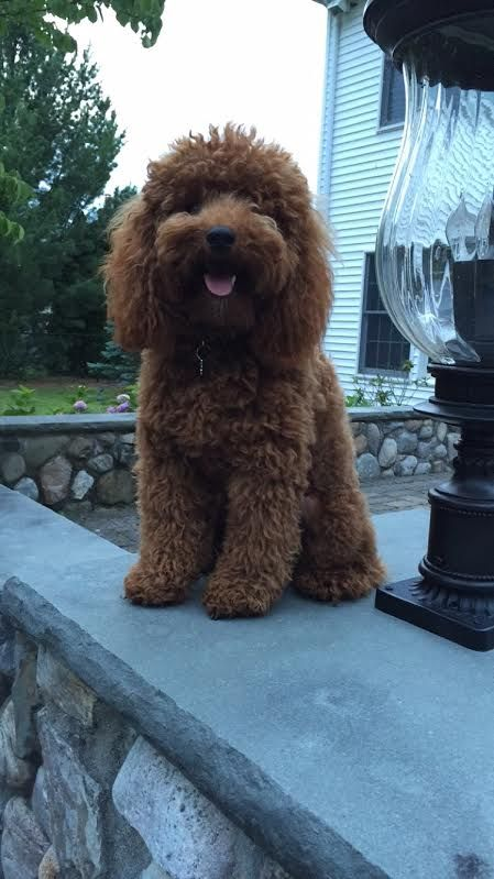 Red Mini Akc Poodle Ryder Scarlet S Fancy Poodles Poodle