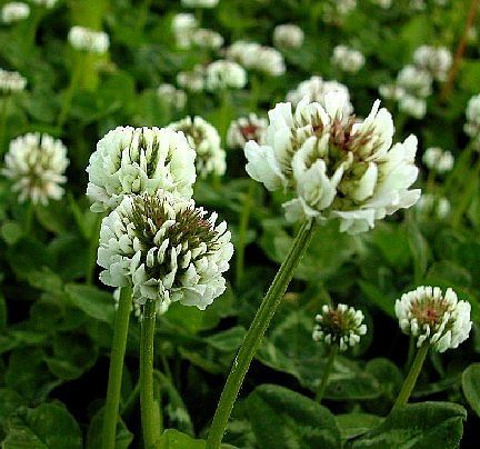 7e04df8a4ecdd0f86e46dda0563d1c06 - How To Get Rid Of Clover Patches In Lawn
