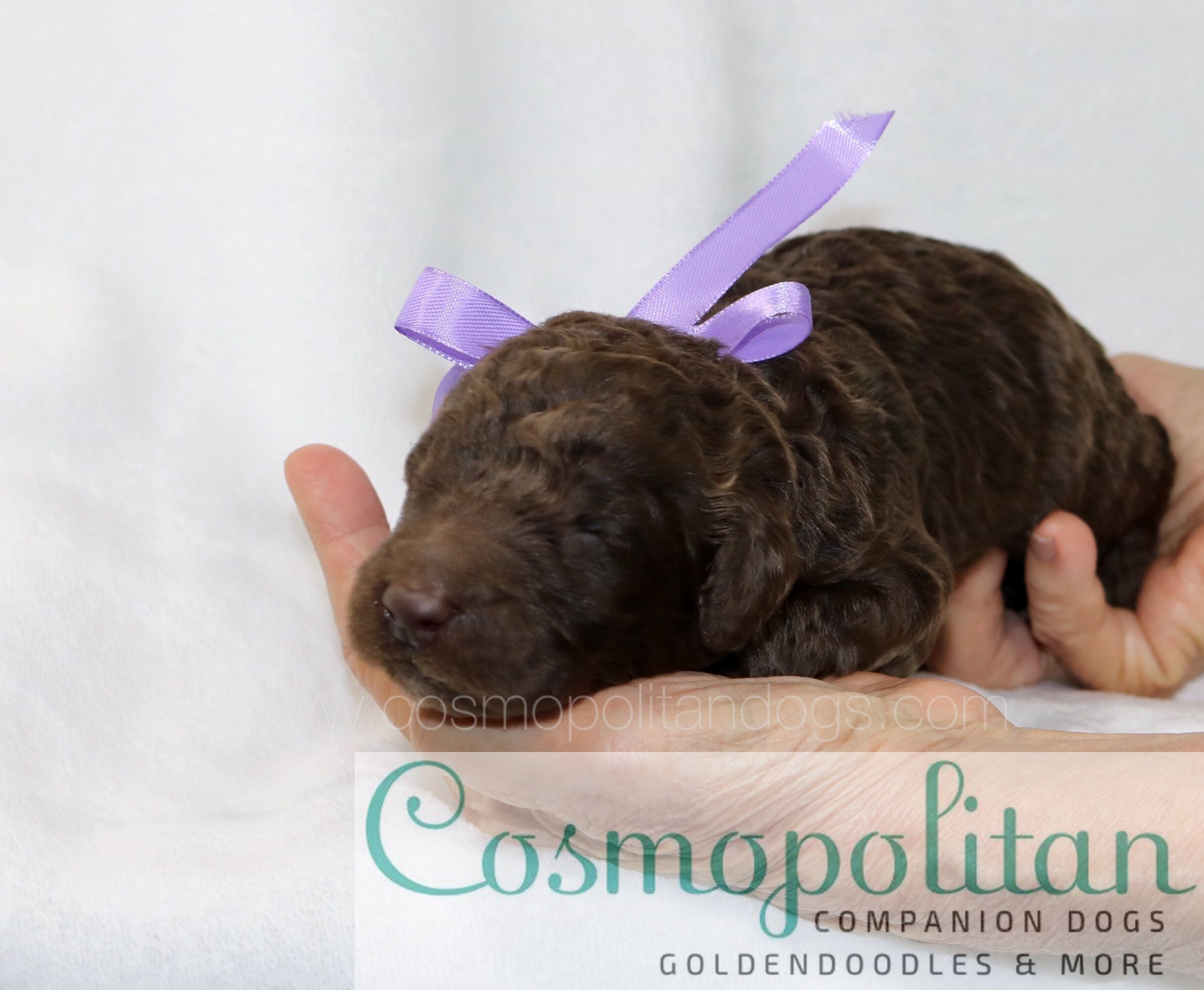 Beautiful 1week old chocolate brown Goldendoodle puppy