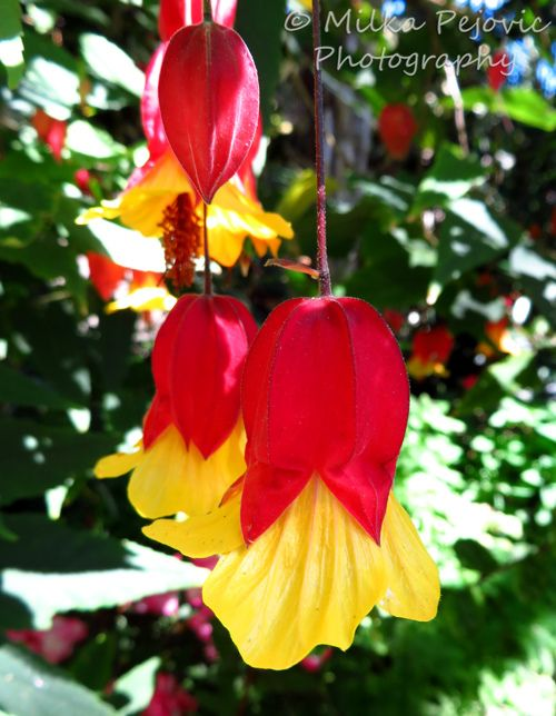 The lovely red and yellow blooms of the abutilon megapotamicum red the lovely red and yellow blooms of the abutilon megapotamicum red and yellow bell mightylinksfo