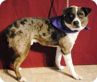 Texas Australian Shepherd Catahoula Leopard Dog Mix Meet Cowboy
