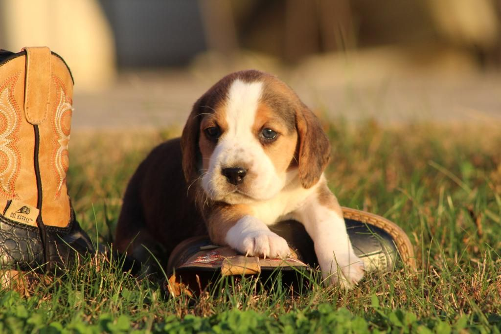Cute Beagle Lancaster Puppies Beagle Puppy Holiday Puppies
