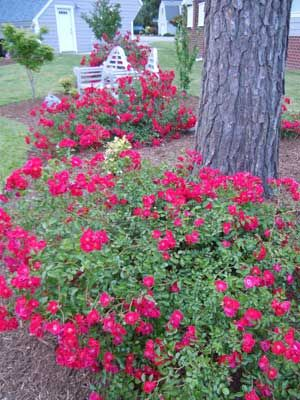 flower carpet roses grow under a tall pine tree where the soil is just awful flower garden plansflower - Flower Garden Ideas For Under A Tree