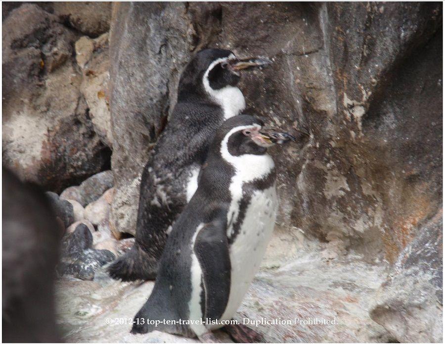 Penguins at Brookfield Zoo.