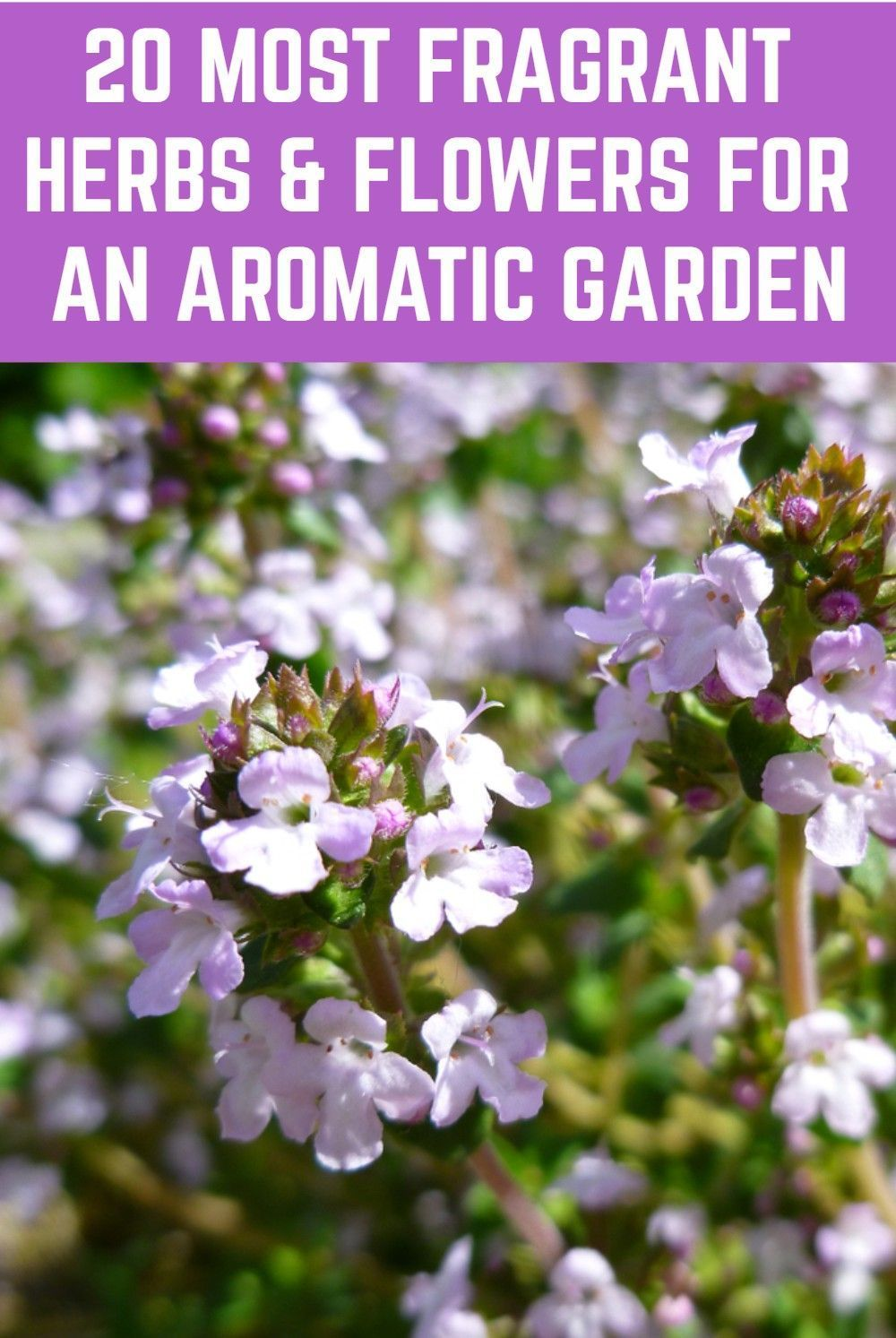 Not only are these herbs and flowers beautiful, they are the best smelling plants for an unbelievably aromatic garden.Not #only #are #these #herbs #and #flowers #beautiful, #they #are #the #best #smelling #plants #for #an #unbelievably #aromatic #garden. #aromatic
