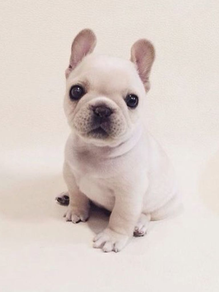 French Bulldog Puppy Tea Cup Frenchie French Bulldog Puppies