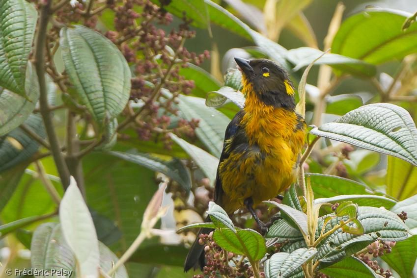 Lacrimose Mountain-Tanager (Anisognathus lacrymosus) A bird in a tree