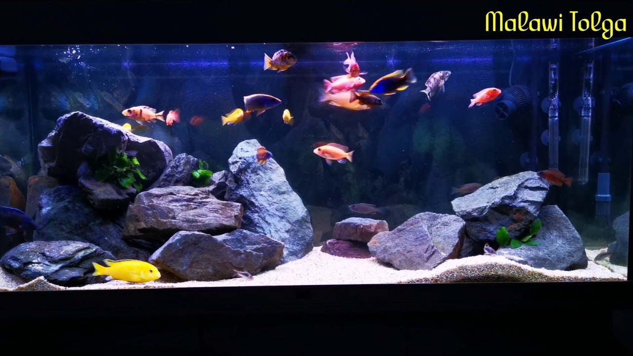 Aquariums Malawi Buntbarsch Aquarium In 2020 Aquarium Malawi Tanked Aquariums