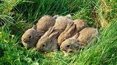 Rabbits invading the city! Copyright: Dennis Avon/ARDEA/All Over Press. Kuva: Dennis Avon/ARDEA.