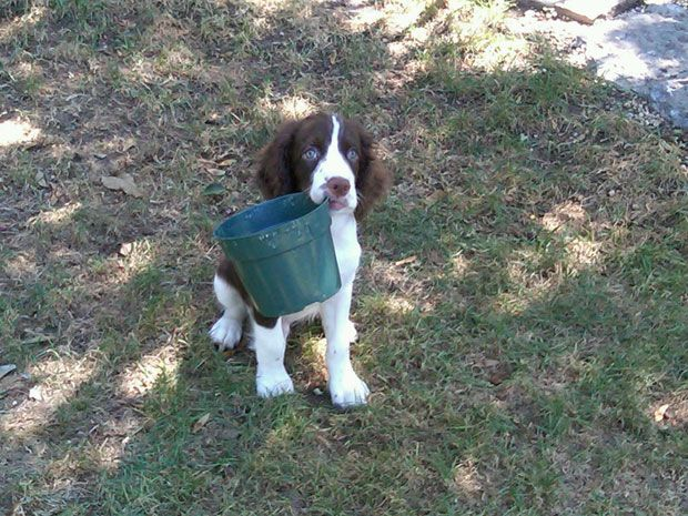 Ranger An English Springer Spaniel From Lexington Kentucky