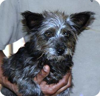Hanover Pa Yorkie Yorkshire Terrier Terrier Unknown Type