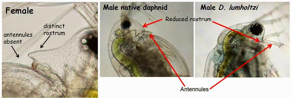 comparison of anatomical features of male and female daphnia viewed ...