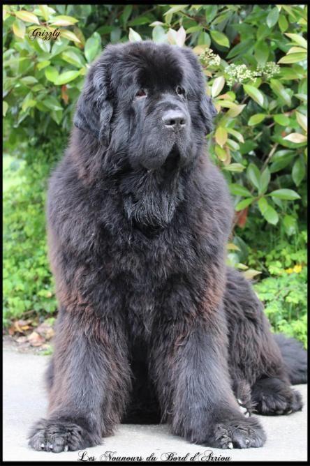 Img 1792 Newfoundland Dog Large Dog Breeds Big Dogs