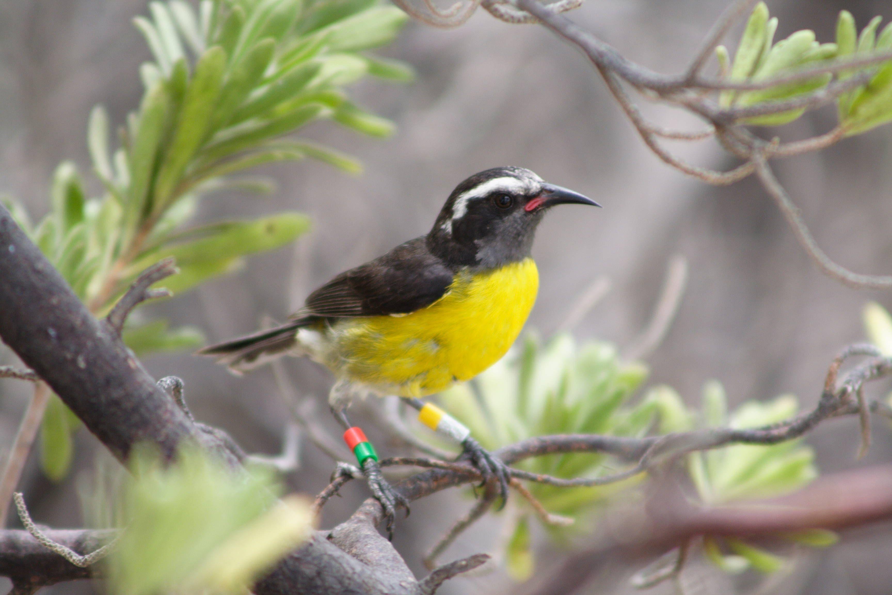 Le Sucrier Des Antilles Petit Oiseau A Ventre Jaune Essentiellement Nectarivore Si Familier Qu Il N Hesite Pas A Voleter De Table Oiseaux Faune Petit Oiseau