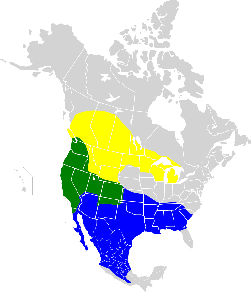Brewer's Blackbird (Euphagus cyanocephalus) distribution map: Green: year-round, yellow: breeding, blue: wintering.