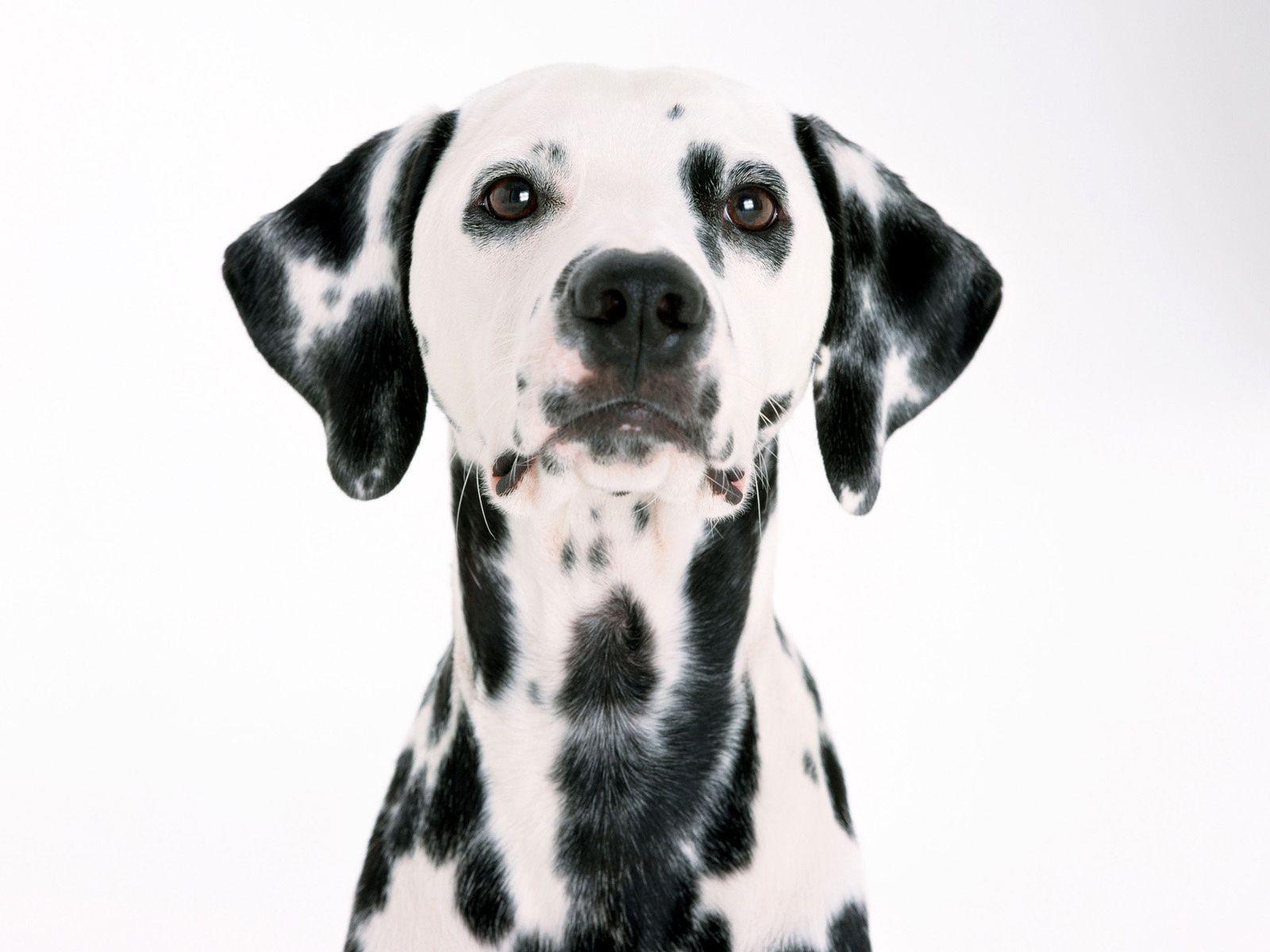 Black And White Dog Wallpaper Desktop Sdeerwallpaper