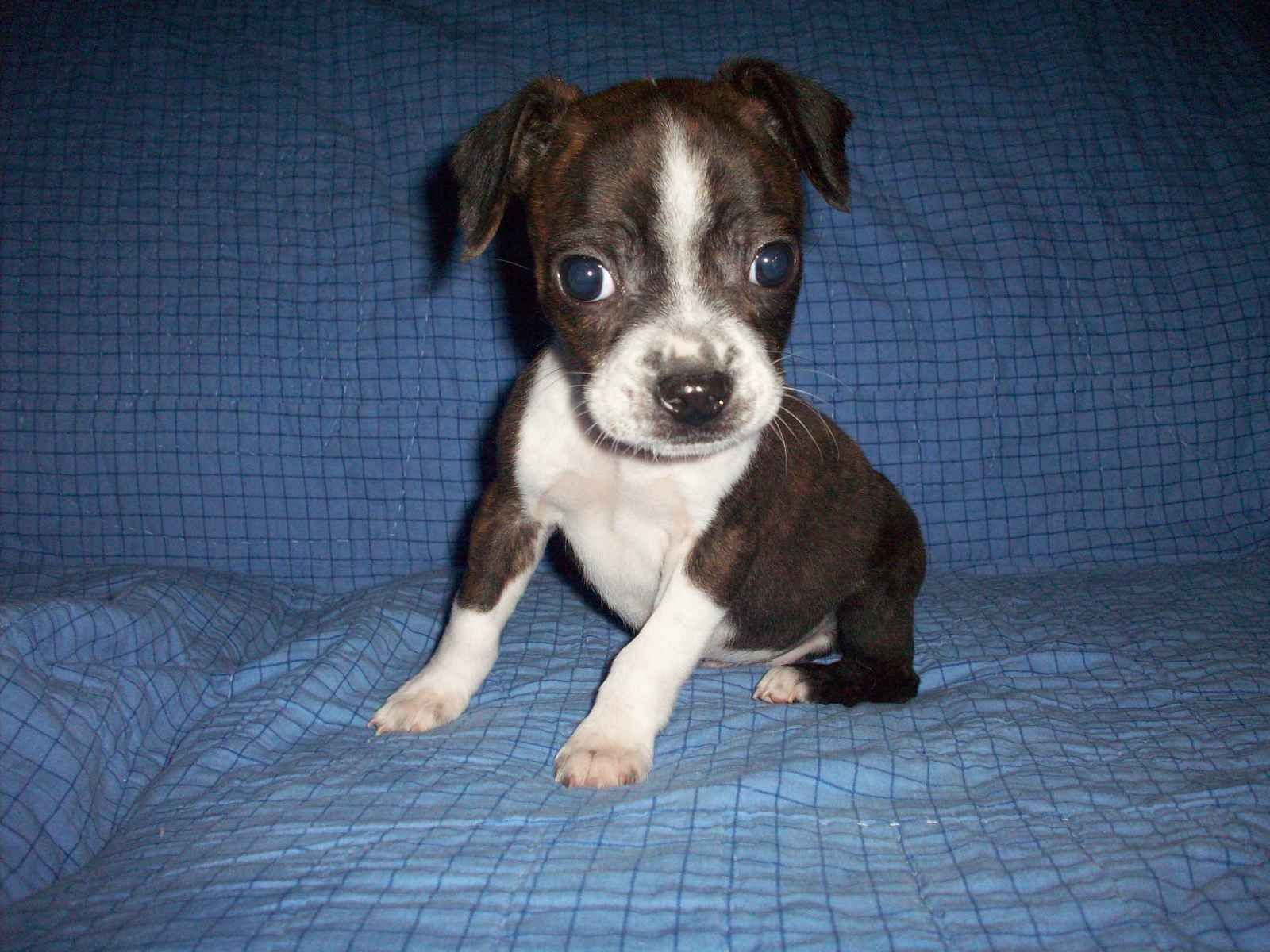 Luv Luv Luv Boggle Puppies Boston Terrier Terrier Mix Dogs